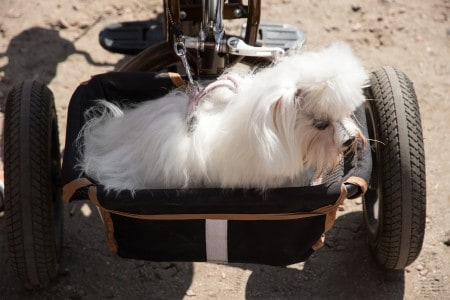 White dog lapdog travels with the owner in a special trailer