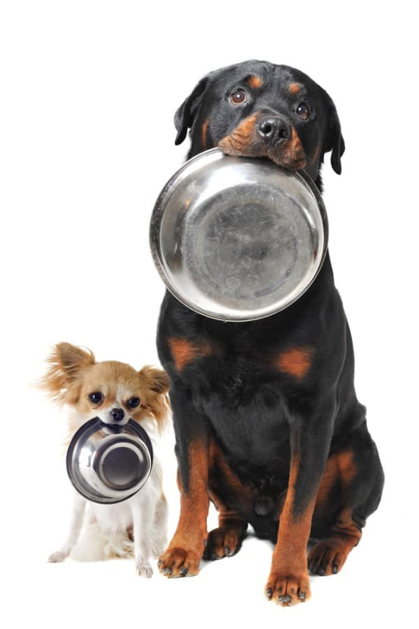 Rottweiler chihuahua and food bowl