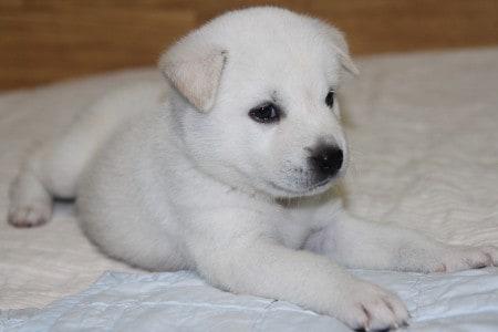 Korean jindo white puppy