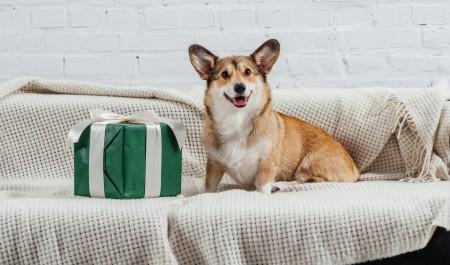 Cute pembroke welsh corgi dog on sofa with green gift looking at camera