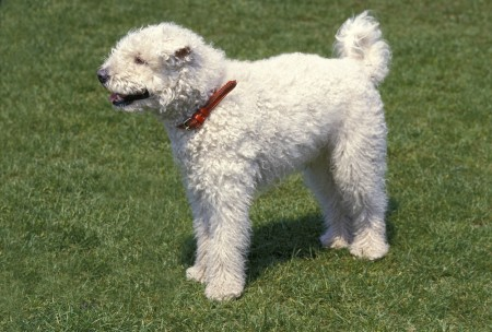 Hungarian Pumi Dog, Adult standing on Grass