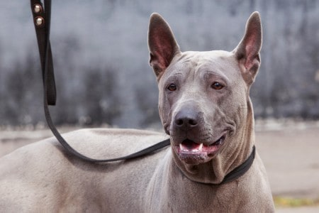 gray Thai ridgeback dog on leash