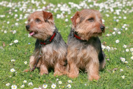 The portrait of pair Norfolk Terrier dogs