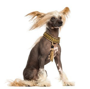Side view of a Chinese Crested Dog sitting, 3 years old