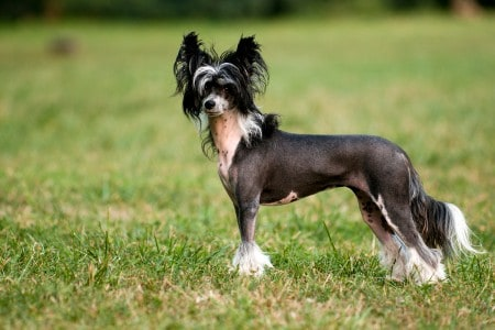 chinese crested dog on grass