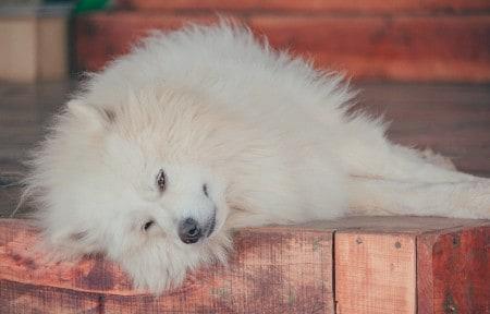 volpino italiano dog sleeping on the floor