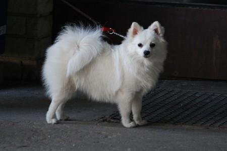 volpino italiano dog on leash