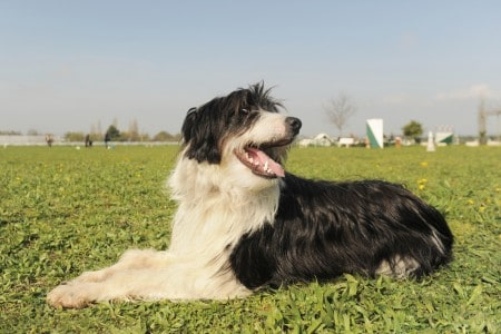 Bearded collie laid down in the grass