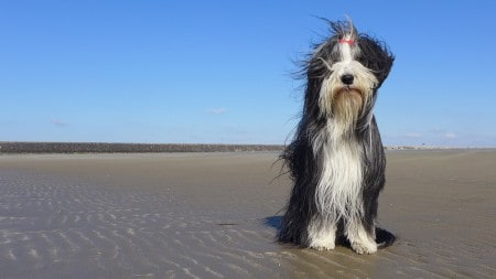 Bearded Collie sitting at the shore