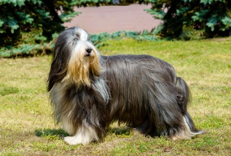 Old English Sheepdog Bearded Collie stands on the grass