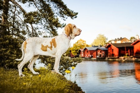 Bracco Italiano pointer standing at river with Porvoo famous red houses landscape at background