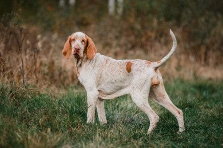 Bracco Italiano pointer hunting dog standing in grass fowling, summer evening