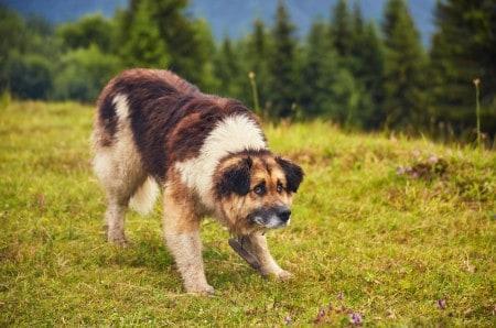 Carpathian Shepherd Dog in the grassland