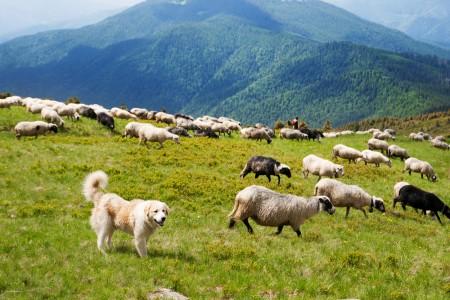 Carpathian Shepherd Dog guarding sheep