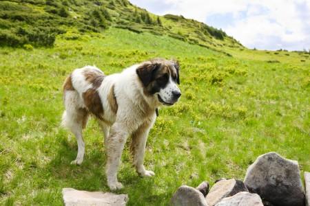 Carpathian Shepherd Dog near the mountains