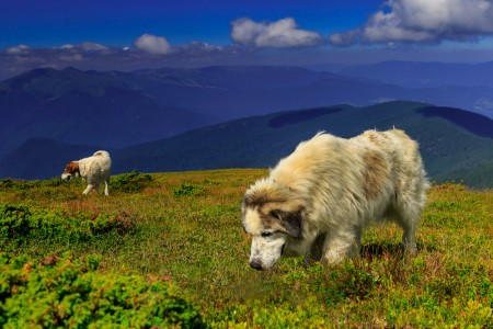 Carpathian shepherd dogs guard sheep in the highlands on a summer day