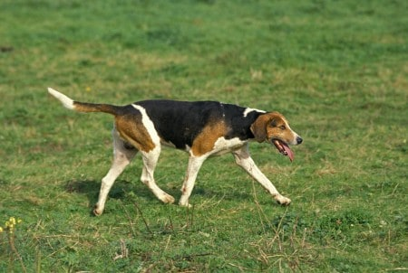 English Foxhound Dog standing on grass