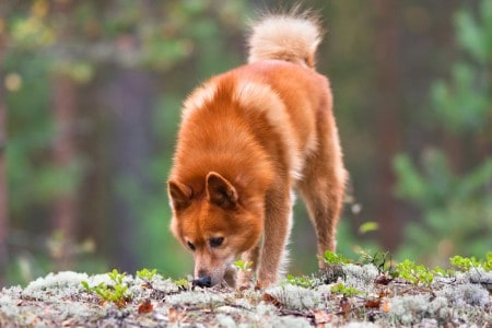 Finnish spitz sniffing traces of animals