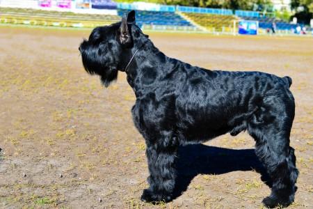 black Giant Schnauzer standing