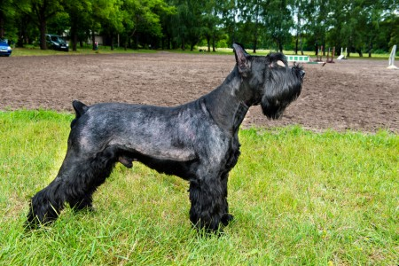 Giant Schnauzer standing on grass