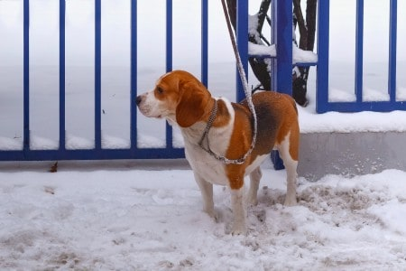 Beagle-Harrier Dog on a leash near a fence in the snow in winter