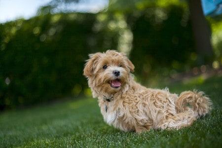 brown maltipoo dog playing outside