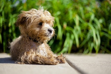 brown maltipoo relaxing outside