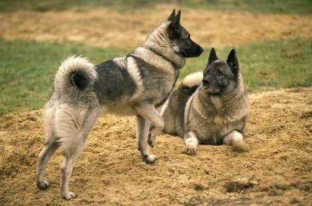Norwegian Elkhound Dog standing on Sand
