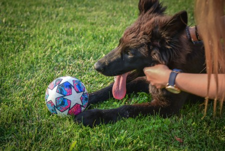 Young girl playing ball with a Black Norwegian Elkhound dog