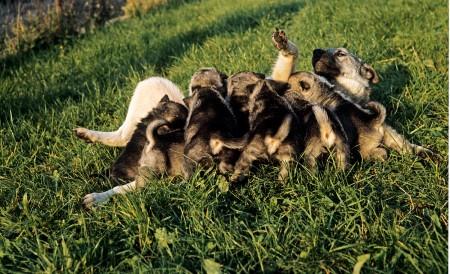 Norwegian Elkhound Dog, Mother with Puppies suckling