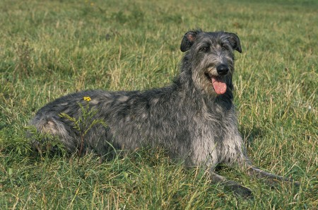 Scottish Deerhound, Dog Laying on Grass