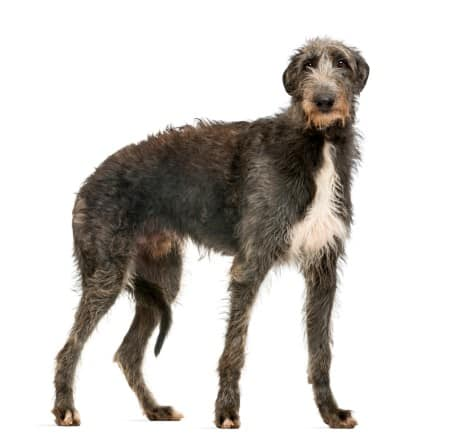 Scottish Deerhound looking at the camera, isolated on white