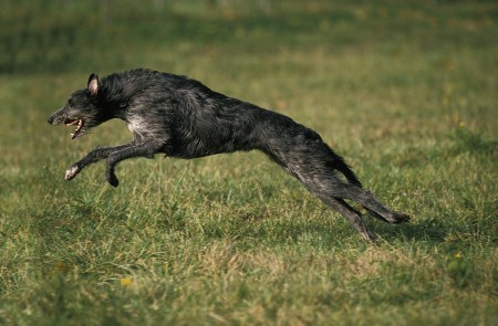 Scottish Deerhound, Dog leaping on Grass