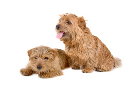 Two Norfolk Terrier dogs