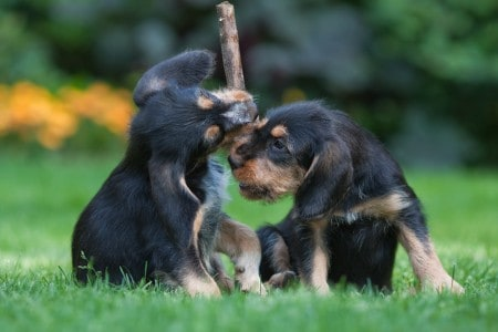 Two Otterhound puppies playing
