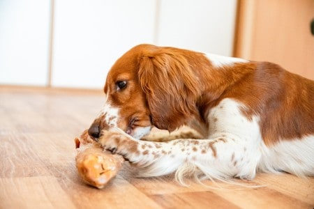 Cute dog welsh springer spaniel eats raw bone barf