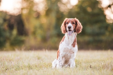 Adorable welsh springer spaniel dog breed outdoor