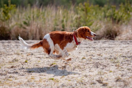 Adorable cute welsh springer spaniel, active happy healthy dog playing outside