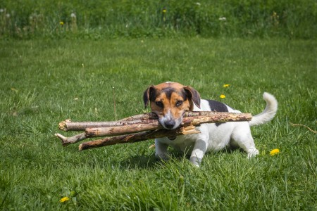 The dog carries firewood through the meadow to the owner
