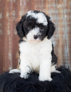 portrait of a sheepadoodle puppy