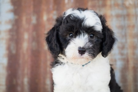 close-up of a sheepadoodle puppy
