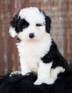 portrait of a sheepadoodle