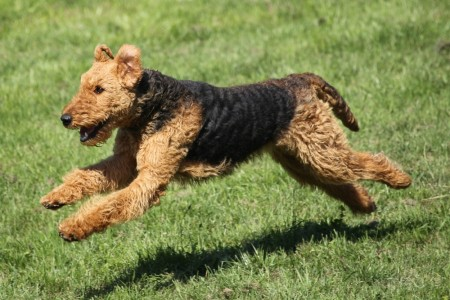 Airedale terrier running in the outdoors