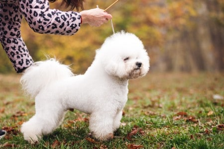 Cute small white puppy Bichon Frize on the green yellow grass