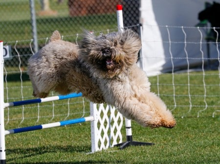 Bouvier des Flanders dog on the agility course going over a jump