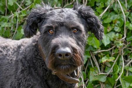 Portrait of Bouvier Des Flandres, orange eyes, on a natural green background