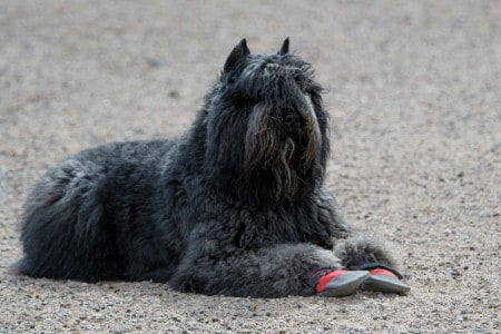Bouvier in booties resting on the gravel