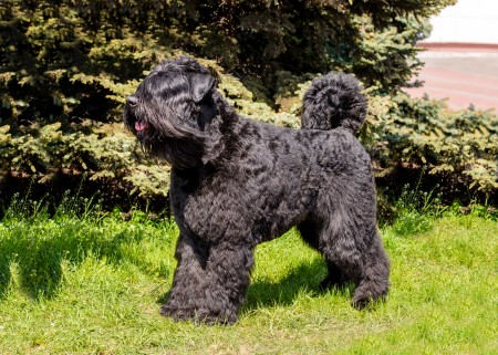 Bouvier des Flandres looks ahead. The Bouvier des Flandres stands on the green grass.