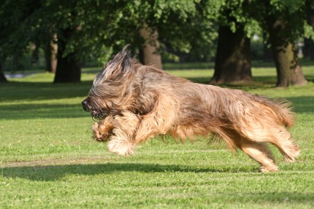 Briard dog running