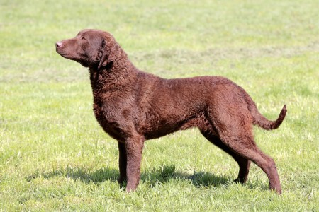 Typical Chesapeake Bay Retriever in the garden